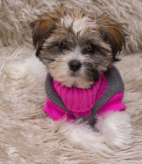 Front view - a tan with white and black Lhatese is laying on a fuzzy rug and looking forward. It is wearing a hot pink and grey sweater.