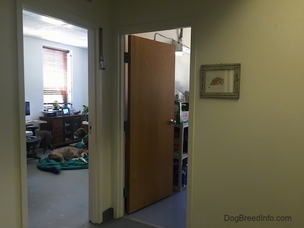 A view looking from the hallway into the DBIC office and storage room with Spencer and Leia the blue-nose Pit Bulls inside of the office.