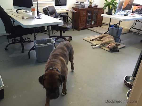 A brown brindle with white Boxer is walking down the Dog Breed Info Center(R) office with a blue-nose brindle Pit Bull Terrier that is sleeping on a tan dog mat.