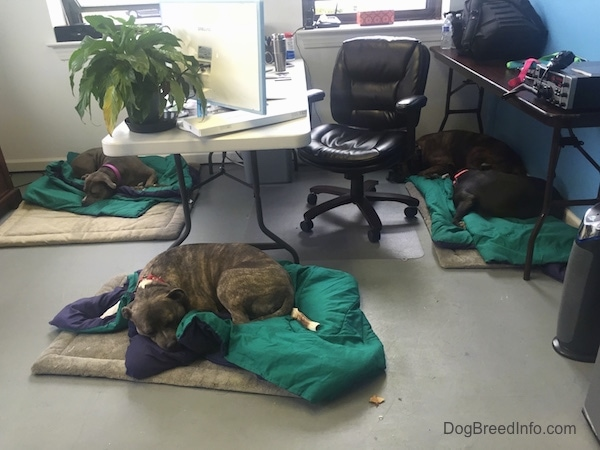 Leia the Pit Bull, Spencer the Pit Bull, Mia the American Bully and Bruno the Boxer sleeping inside of the Dog Breed Info Center(R) office on green comforter blankets