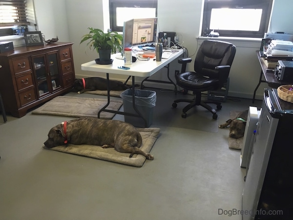 A blue-nose brindle Pit Bull Terrier and a grey with white Pit Bull Terrier are laying on dog mats inside of the Dog Breed Info Center(R) office with a computer desk and chair next to them.