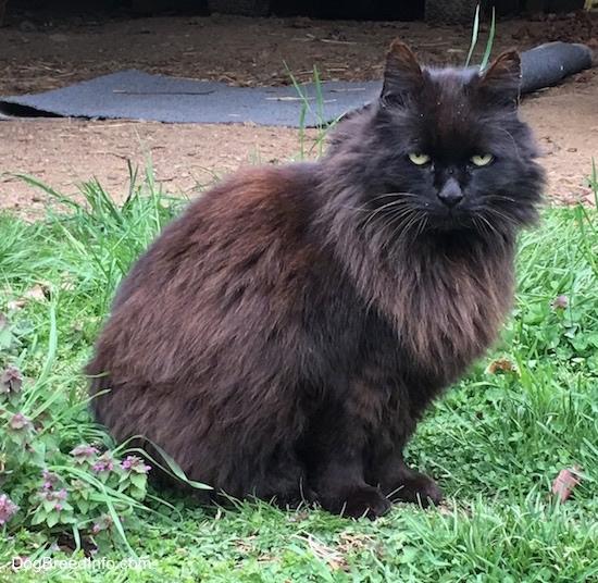 Long Ear Hair Cat Breeds