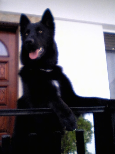 Front view - A perk-eared, black German Shepherd/Belgian Shepherd mix breed dog with golden eyes jumped up at a black railing in front of a house. The dog has a small tuft of white on its chest.