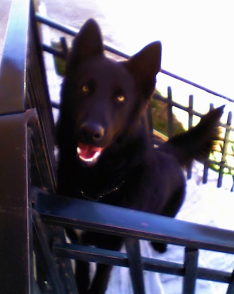 Front view from the top looking down - A perk-eared, black German Shepherd/Belgian Shepherd mix breed dog with golden eyes sitting in front of a black railing on the deck of a house. Its mouth is open showing its pink tongue and white teeth.