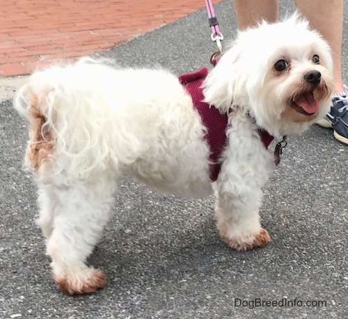 A little fluffy white dog wearing a maroon harness and a pink leash standing outside on blacktop next to a brick walkway.