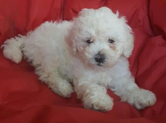 Malti-Poo Dog Breed Information and Pictures