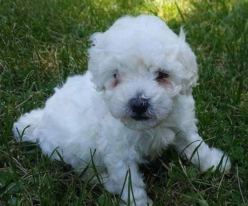 A little white fluffy puppy sitting down in the green grass
