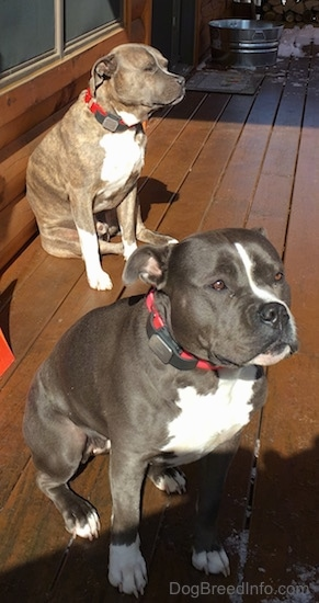 A blue nose American Bully Pit and a blue nose Pit Bull Terrier are sitting on a hardwood porch. They are both looking up and to the right.