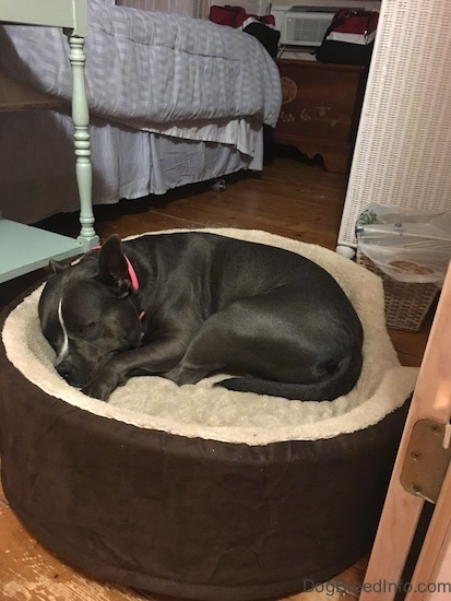 A blue nose American Bully Pit is sleeping in a dog bed.