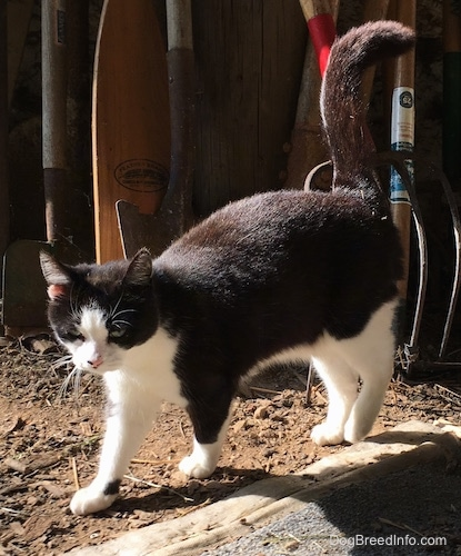 Oreo the miniature black and white cat standing outside with a pitchfork, ho, shovels and a wooden boat ore leaning against the stone barn wall behind her