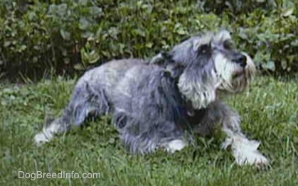 Side view - a gray, wiry looking medium-sized dog with cropped ears laying in grass looking to the right.