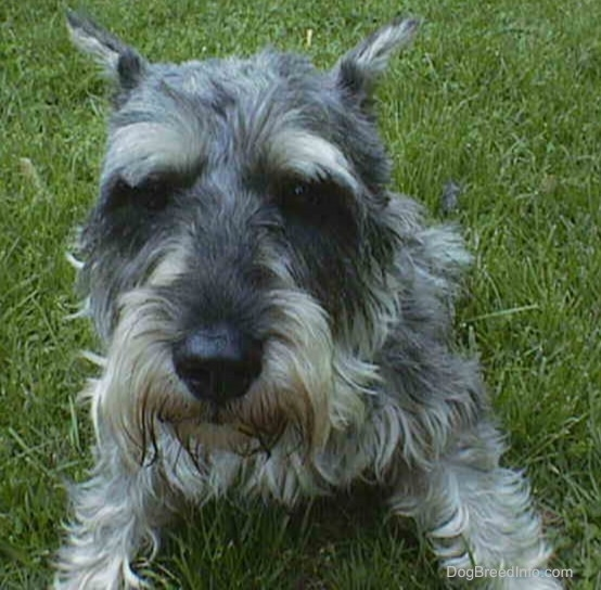 Front view - a gray wiry looking medium-sized dog with cropped ears laying in grass looking at the camera.