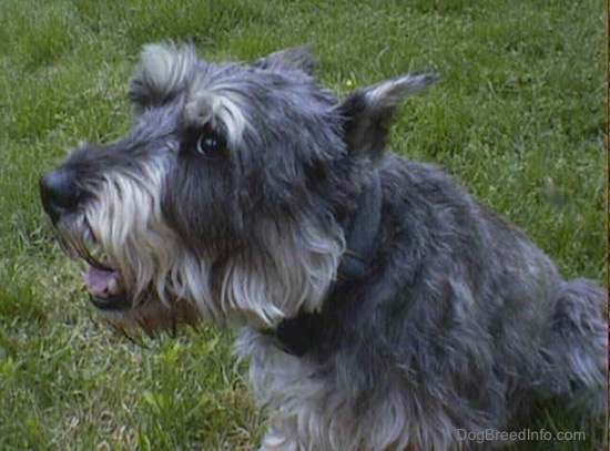 Side view upper body shot - a gray wiry looking medium-sized dog with cropped ears laying in grass facing the left but looking at the camera.