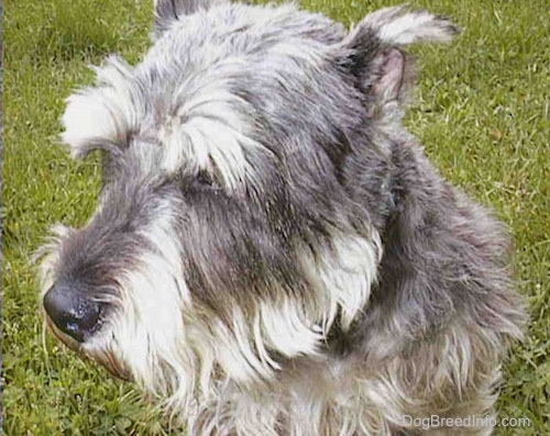 Side view upper body shot - a gray wiry looking medium-sized dog with cropped ears sitting in grass facing the left.