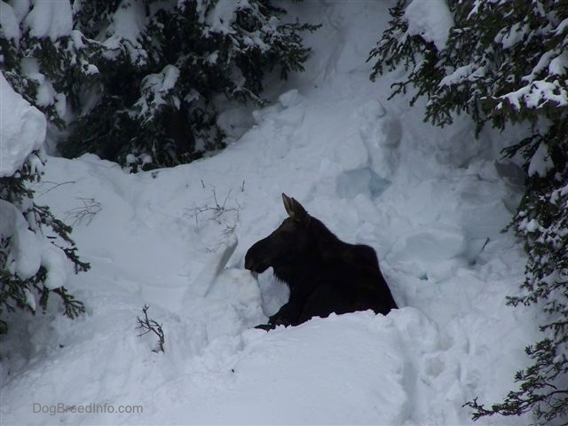 A Moose laying down in deep snow with evergreen trees surrounding it.