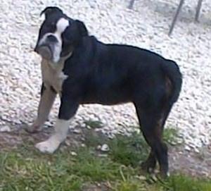 Brown olde english bulldogge puppies - photo#44