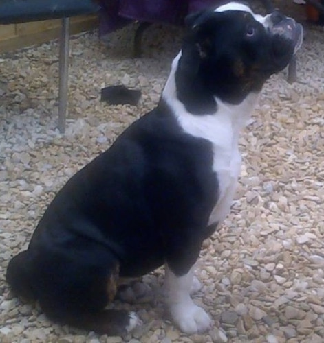 Side view - A muscular black with white and brown Olde English bulldogge puppy is sitting on gravel looking up.
