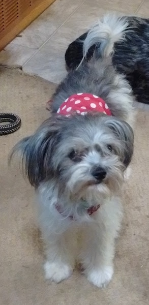 Front view - A little gray and white dog wearing a red and white polka-dot belly band standing on a tan carpet with a tiled floor behind it.