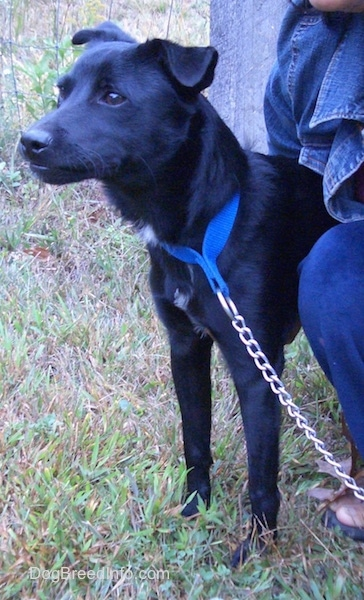 Side view - A shiny black dog with small flop ears that hang over to the front wearing a blue collar and a chain link leash looking forward with a person kneeling next to it.