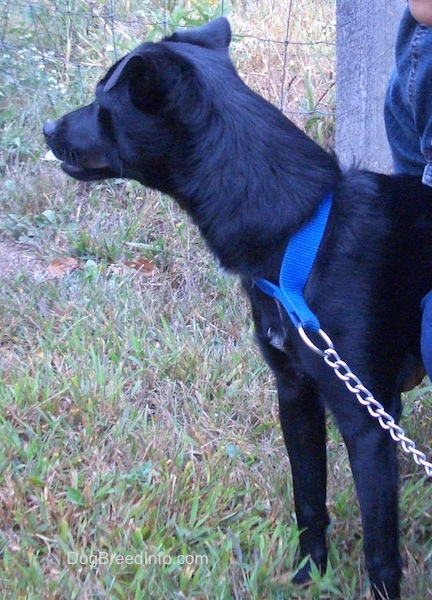 Side view - A shiny black dog with small flop ears that hang over to the front wearing a blue collar and a chain link leash looking to the right away from the camera with a person kneeling next to it.