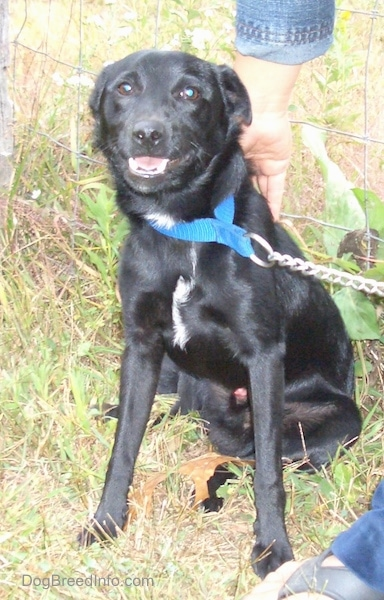 Front view - A shiny black dog with small flop ears that are pinned back wearing a blue collar and a chain link leash looking at the camera with a person standing next to it. It has a little bit of white on its chest.