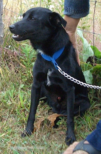 Front side view - A shiny black dog with small flop ears that are pinned back wearing a blue collar and a chain link leash with a person standing next to it with their hand on its back. It has a little bit of white on its chest.