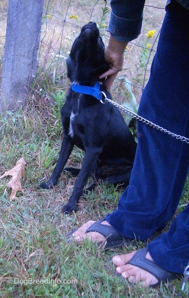 Front side view - A shiny black dog with small flop ears that are pinned back wearing a blue collar looking up at the person standing next to it with their hand on the dogs head. The dog has a little bit of white on its chest.
