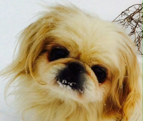 Close up head shot - A tan with black Pekingese is sitting in snow and it has snow on its mouth. Its head is tilted to the right.