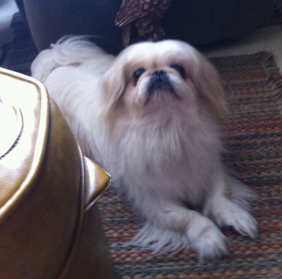 A tan with white Pekingese is dog laying on a rug and it is looking up.