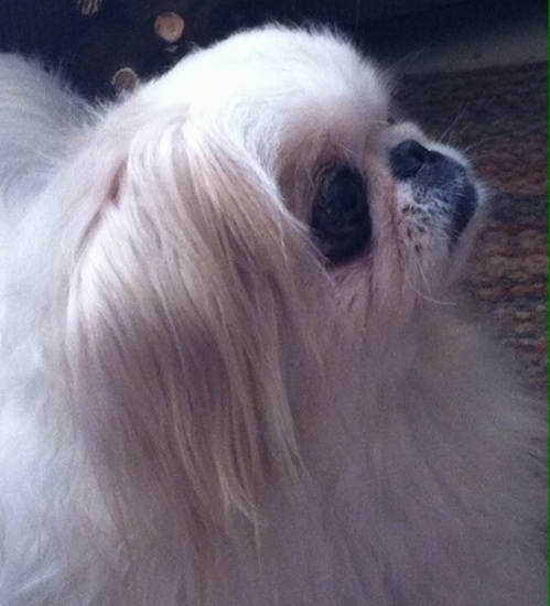 Close up Right Profile - A tan with white Pekingese is laying on a rug and it is looking up and to the right.
