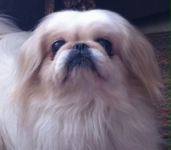Close up front view head shot - A tan with white Pekingese is standing on a rug and it is looking up.