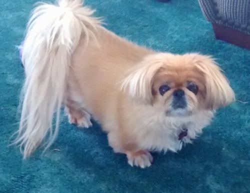 Top down view of a tan with white Pekingese dog standing on a bright blue carpet looking up. It has longer hair on its ears and tail.