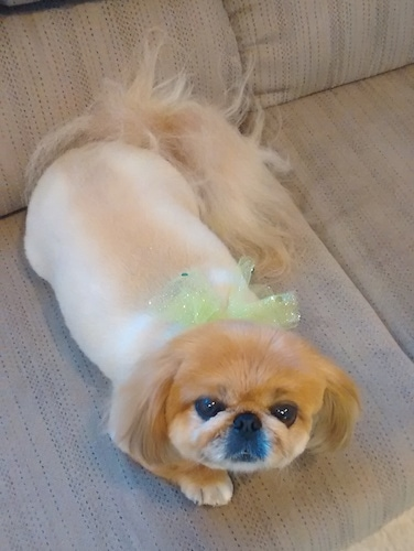 A freshly shaved tan with white Pekingese is laying across a couch. It is looking up. It has longer hair on its tail and head. Its coat is light tan and its head is a darker reddish tan. It has a green ribbon around its neck.