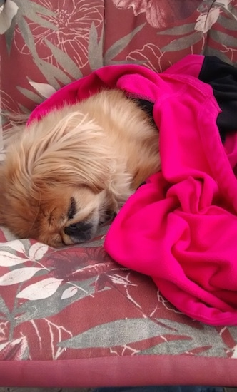 A tan with white Pekingese is sleeping on a red patterned couch and it is covered in a hot pink and black blanket.