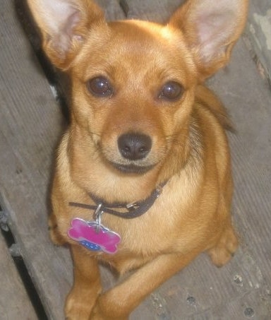 Close up front view - A Pineranian dog with large perk ears sitting on a wooden deck wearing a pink bone collar tag with one front paw in the air.