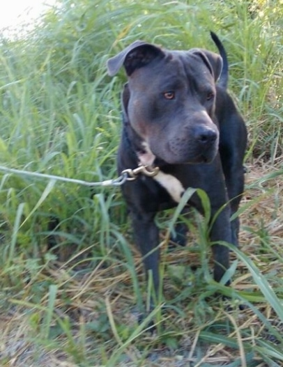 A black with white Pit Bull Terrier is standing in tall grass and it is looking to the right.