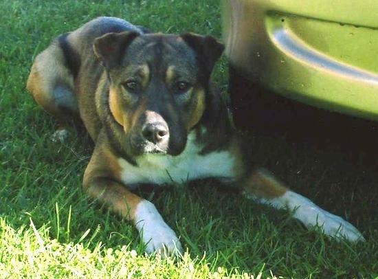 A large breed muscular dog with small ears that flop over and a wide chest laying down in the grass next to a yellow car. The dog is brown, tan and white. It has a black nose.