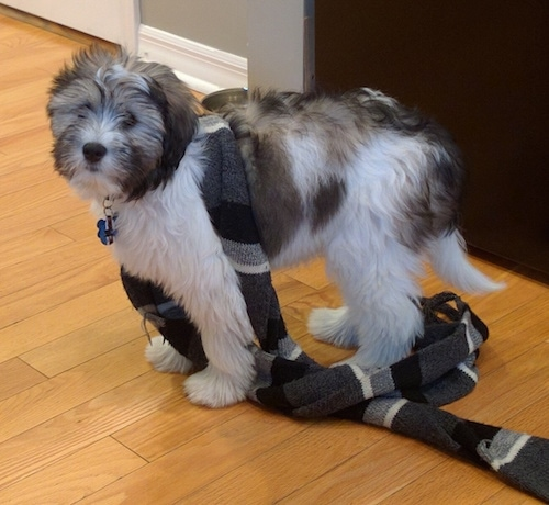 Side view - A fluffy soft looking white with tan and black Polish Lowland Sheepdog puppy is standing on a hardwood floor and it is looking forward. It has a scarf wrapped around its body.