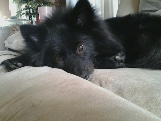 Close up head and upper body shot - A perk-eared, fluffy, black Pom-Kee puppy is laying down on a tan couch and looking forward.
