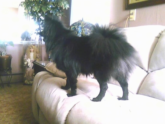 The left side of a fluffy, black Pom-Kee standing on a tan couch looking across the room. There is a large collectable doll and house plants in the distance.