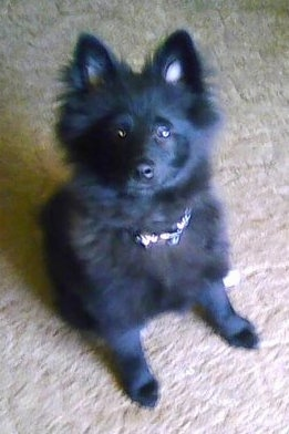 Front view - A small, fluffy black Pom-Kee puppy is sitting on a tan carpet looking up.