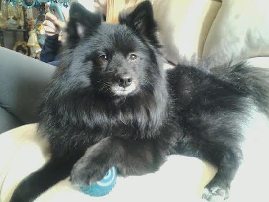 Close up side view - A longhaired, perk-eared, black Pom-kee dog is laying on a white couch with its front paw on top of a blue with white ball looking towards the camera. There is a lady on her phone in the background.