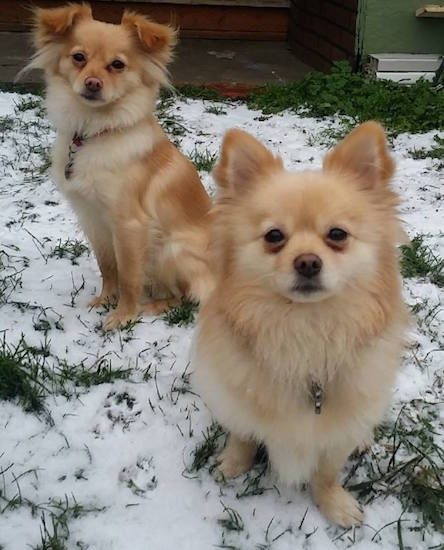 chihuahua pomeranian mix full grown pomchi dog breed information and pictures 2123