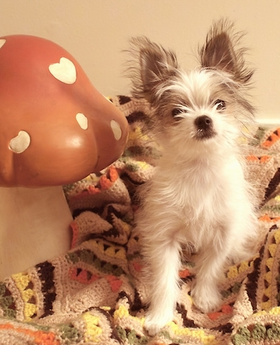 Front view - A fluffy, perk-eared, white with grey Shih Tzu/Bichon Frise/Pomeranian mix breed puppy is sitting next to a fake mushroom on a bed. The mushroom is larger than the dog.