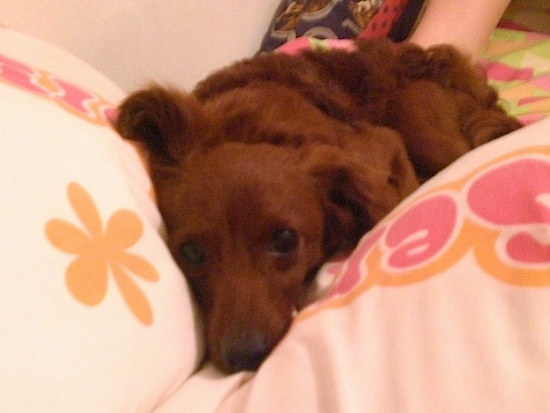 Front view - A red Pootalian dog is laying down on a human's bed in between two white with pink and orange pillows.