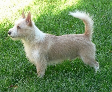 Left Profile - A wiry-looking tan with white Portuguese Podengo is standing in grass and looking to the left. The dog's tail is up high in the air.