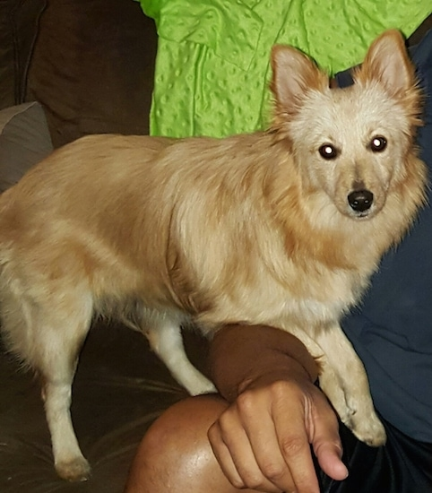 Precious the Pomeranian Sheltie mix standing on her owners lap as he sits on the couch