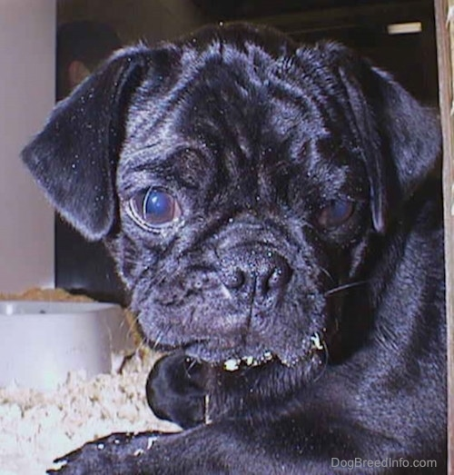 Close up head shot - A shiny black Pug puppy with wrinkles on its head laying down on top of wood chips inside of a pen. There are chips on its chin and a water bowl behind it. It has a hair in its large round eye.