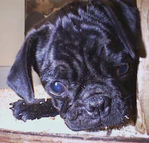 Close up head shot - A shiny black Pug puppy with wrinkles on its head laying down on top of wood chips inside of a pen. It is looking down and it has large round eyes.