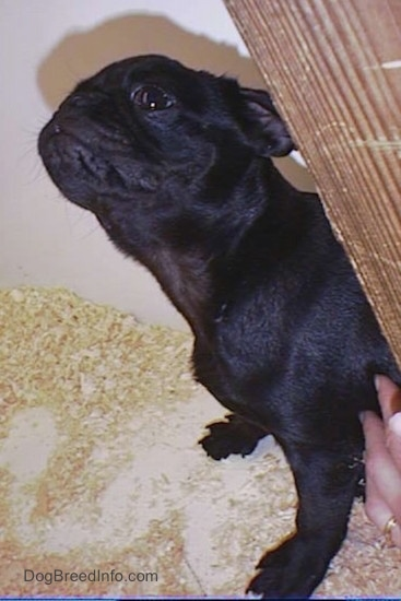 Side view - A black Pug puppy with wrinkles on its head sitting down on top of wood chips inside of a pen with its head stretched upward looking up in the air. There is a hand touching its side.